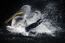 Free Bathing Pelican Stock Photos - 6281503