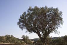 Free Olive Tree Royalty Free Stock Photos - 6281908