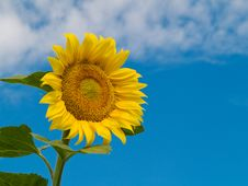 Free Sunflower Stock Images - 6282514