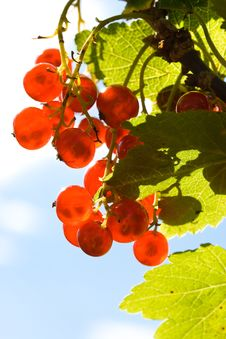 Free Red Currant Stock Images - 6283594