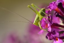 Free Grassopper On A Flower Royalty Free Stock Photography - 6283997
