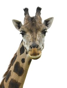 Free Giraffe Head Facing Stock Image - 6284491