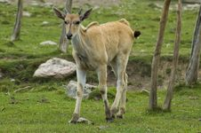 Young Cape Eland Royalty Free Stock Photography