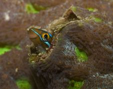 Free Bluestripped Fang Blenny Royalty Free Stock Photos - 6284728