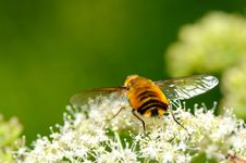 Free The Hoverfly - Syrphus Ribesii Stock Photos - 6284833