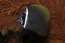 Free Red Tail Butterflyfish Stock Images - 6284934