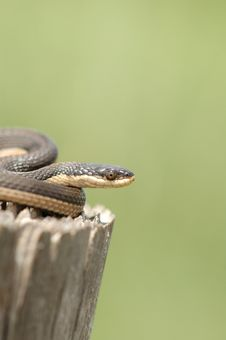 Free Graham S Crayfish Snake Royalty Free Stock Photography - 6285127