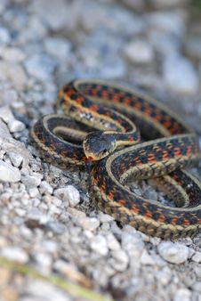 Red-sided Garter Snake Stock Images