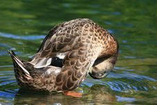 Mallard Duck Playing In Water Royalty Free Stock Photo