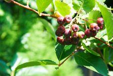 Free Black Rowan Tree Royalty Free Stock Photos - 6286338