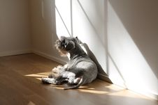 Free Miniature Schnauzer Stock Photo - 6286340
