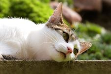 Free Spoted Cat Royalty Free Stock Photography - 6286387