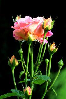 Free Tea Rose - Herbal Beauty Royalty Free Stock Photos - 6286518
