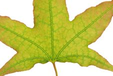 Free Leaf Vein Royalty Free Stock Photo - 6287535
