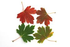 Free Maple Leaves Stock Image - 6287571