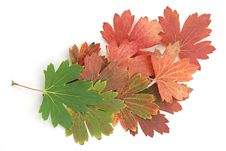 Free Maple Leaves Royalty Free Stock Photos - 6287588