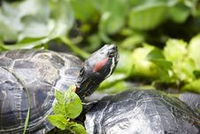 Free Tortoise Royalty Free Stock Photos - 6288418