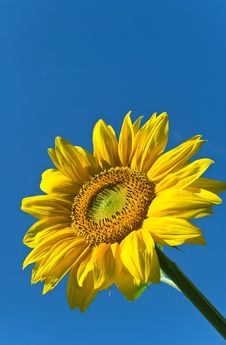 Free Sunny Sunflower Royalty Free Stock Images - 6288489