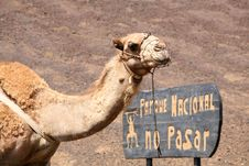 Free Camel Stock Photos - 6288703