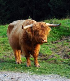 Free The Scottish Cow. Royalty Free Stock Images - 6289439