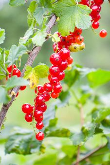Free Mature Redcurrant Royalty Free Stock Image - 6289976