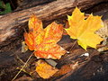 Free Maple Leaves Royalty Free Stock Photo - 6290515