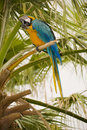Free Gold And Blue Macaw Royalty Free Stock Images - 6293839
