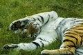 Free Playing Tiger Royalty Free Stock Photo - 6294795