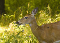 Free Deer Profile Royalty Free Stock Photography - 6296267