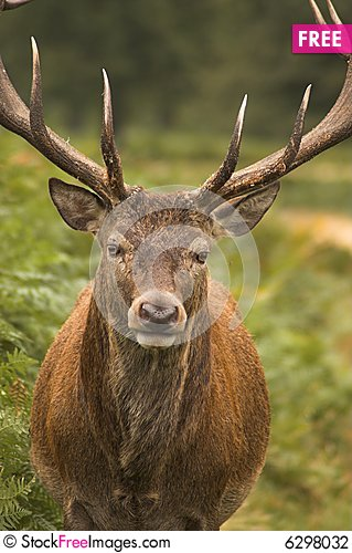 Free Male Deer Stock Photography - 6298032