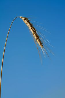 Free Golden Grain Ears Stock Image - 6290221