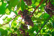 Free Grape Bunches Royalty Free Stock Images - 6290269