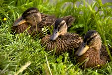 Free Three Feathery Ducklings Royalty Free Stock Photos - 6291338