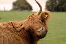 Free Hairy Cow Stock Photography - 6291832