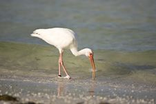 Free White Ibis Feeding In The Surf Stock Images - 6293604