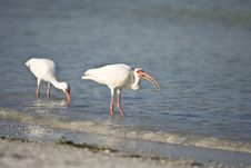 Free White Ibis Feeding On Shellfish Royalty Free Stock Photos - 6293628