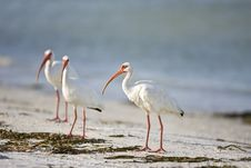 Free White Ibis Resting On The Beach Stock Images - 6293704