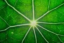 Free Macro Of Nasturtium Leaf Stock Photos - 6293843
