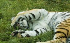 Free Sleeping Tiger Stock Photo - 6294810