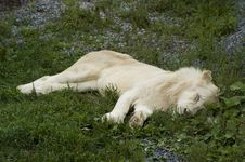 Free Sleeping White Lion Stock Images - 6294814