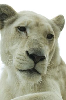 Free White Lioness Stock Photography - 6294822