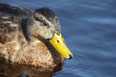Free Duck In The Water Royalty Free Stock Images - 6294969