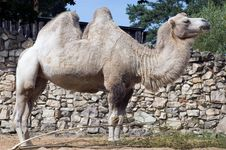 Free Camel Royalty Free Stock Photography - 6295097
