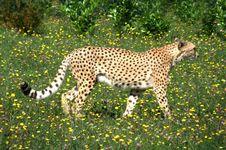 Free Cheetah Stock Photos - 6295113