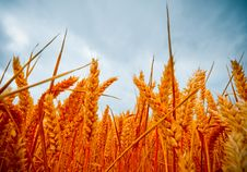 Free Dramatic View Of Wheatfields Royalty Free Stock Photography - 6295357
