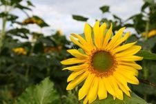 Free Single Sunflower ,on Sunflowers Field Royalty Free Stock Photo - 6295665