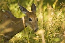 Free Deer Eating Grass Royalty Free Stock Photo - 6296235