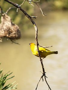 Free Cape Weaver Royalty Free Stock Image - 6296836