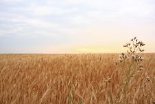 Free Wheat Field With Sunset Stock Image - 6296941