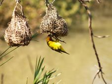 Free Cape Weaver Stock Images - 6296984